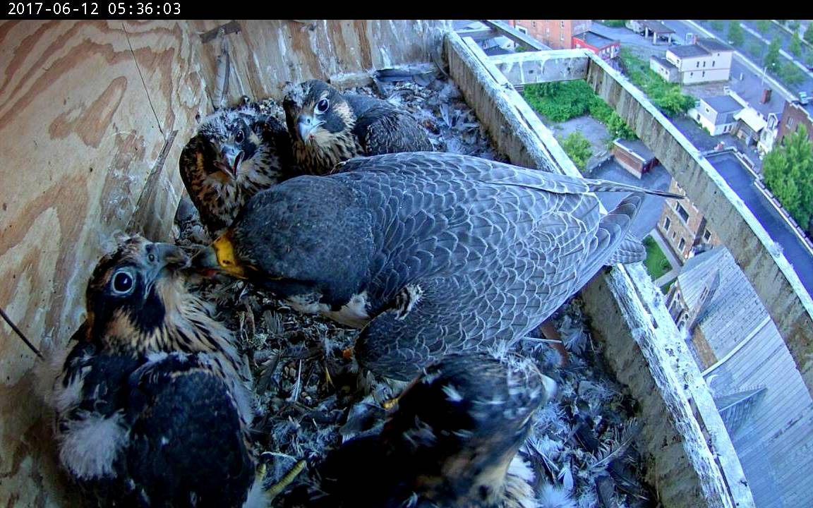 Astrid doing a proper feeding - one of the few for today