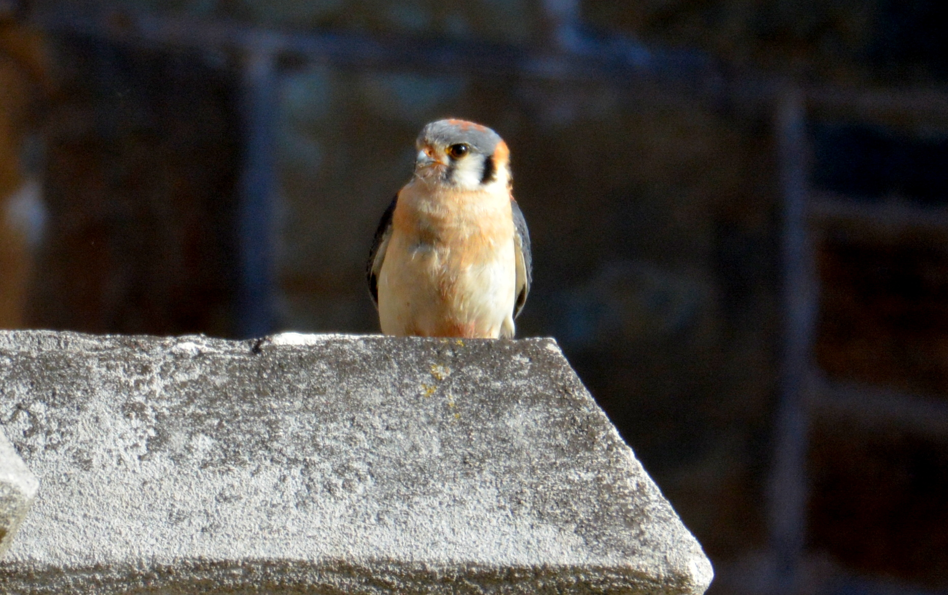 A male American Kestrel came into the canyon and perched on the church not far from our Fledge Watch post