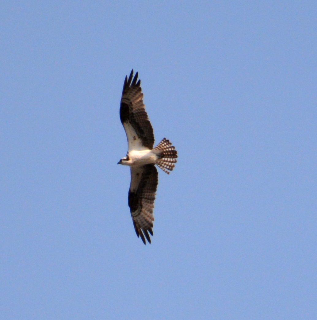 An Osprey flies over the canyon