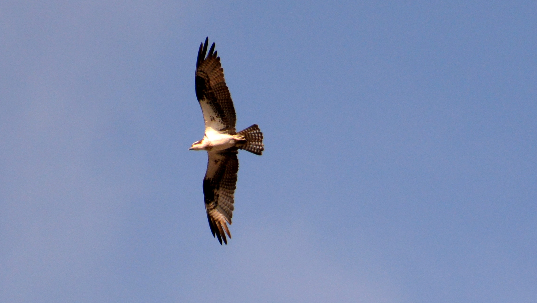 An Osprey flies over, but goes unnoticed by A & A