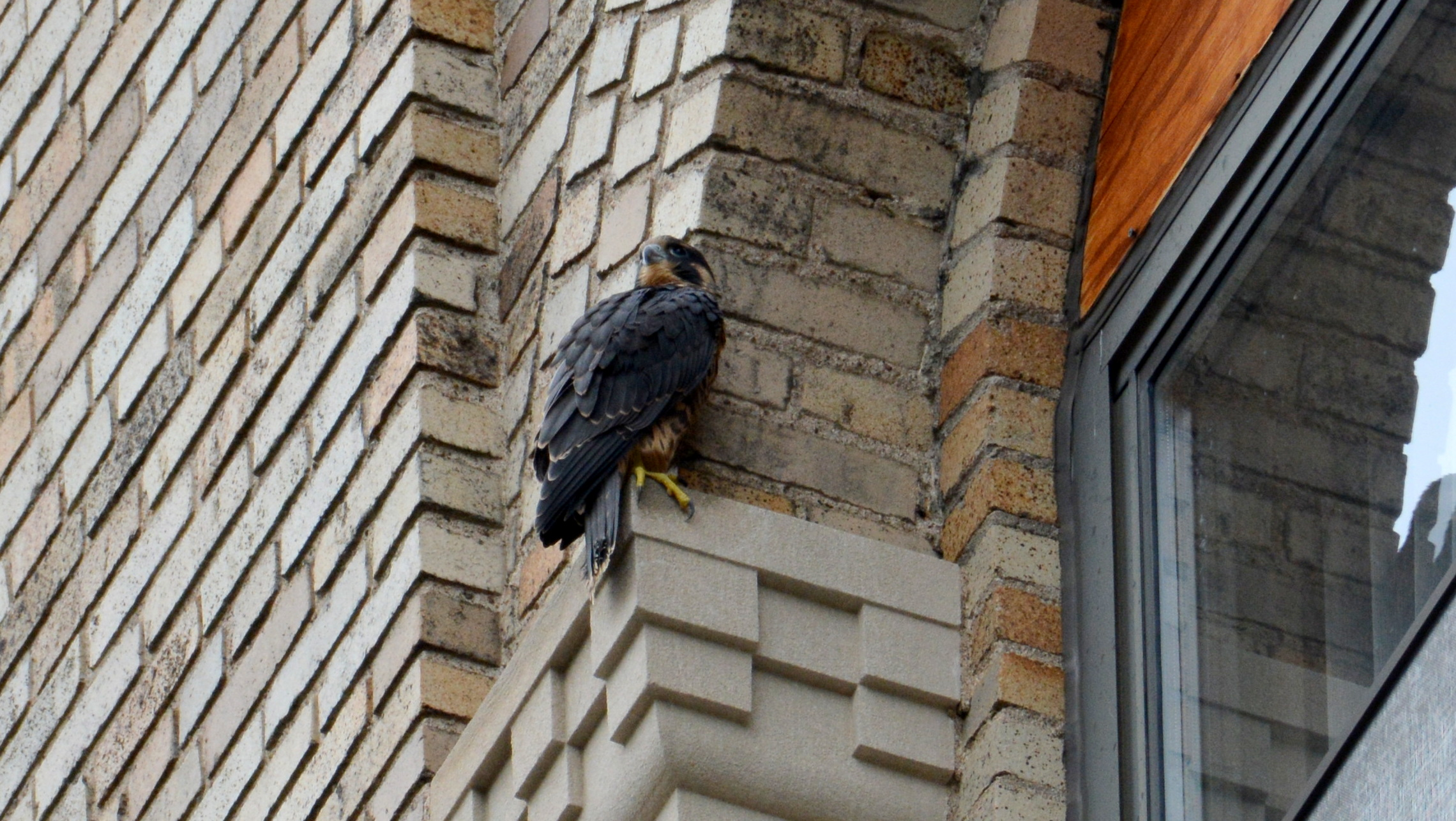 After a few missteps, Zander claws his way un to a good perch on the ADK Bank Building