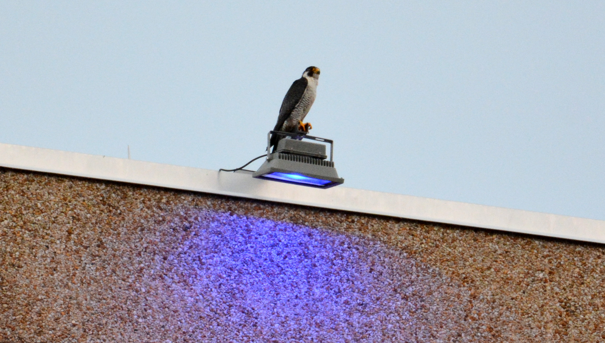Ares perched on a light fixture on the county building