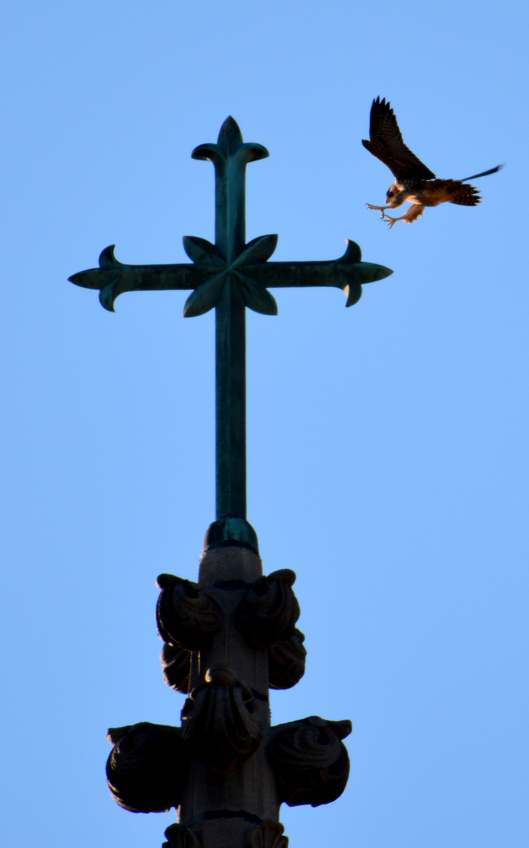 Coming down for a landing on the cross at the very top of the steeple