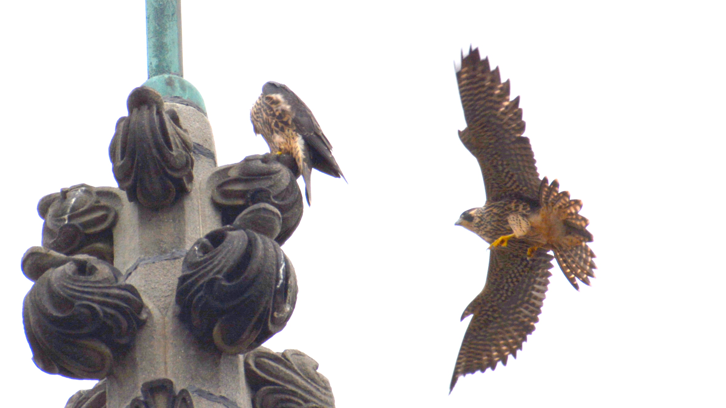 Landing on the steeple's highest [perch