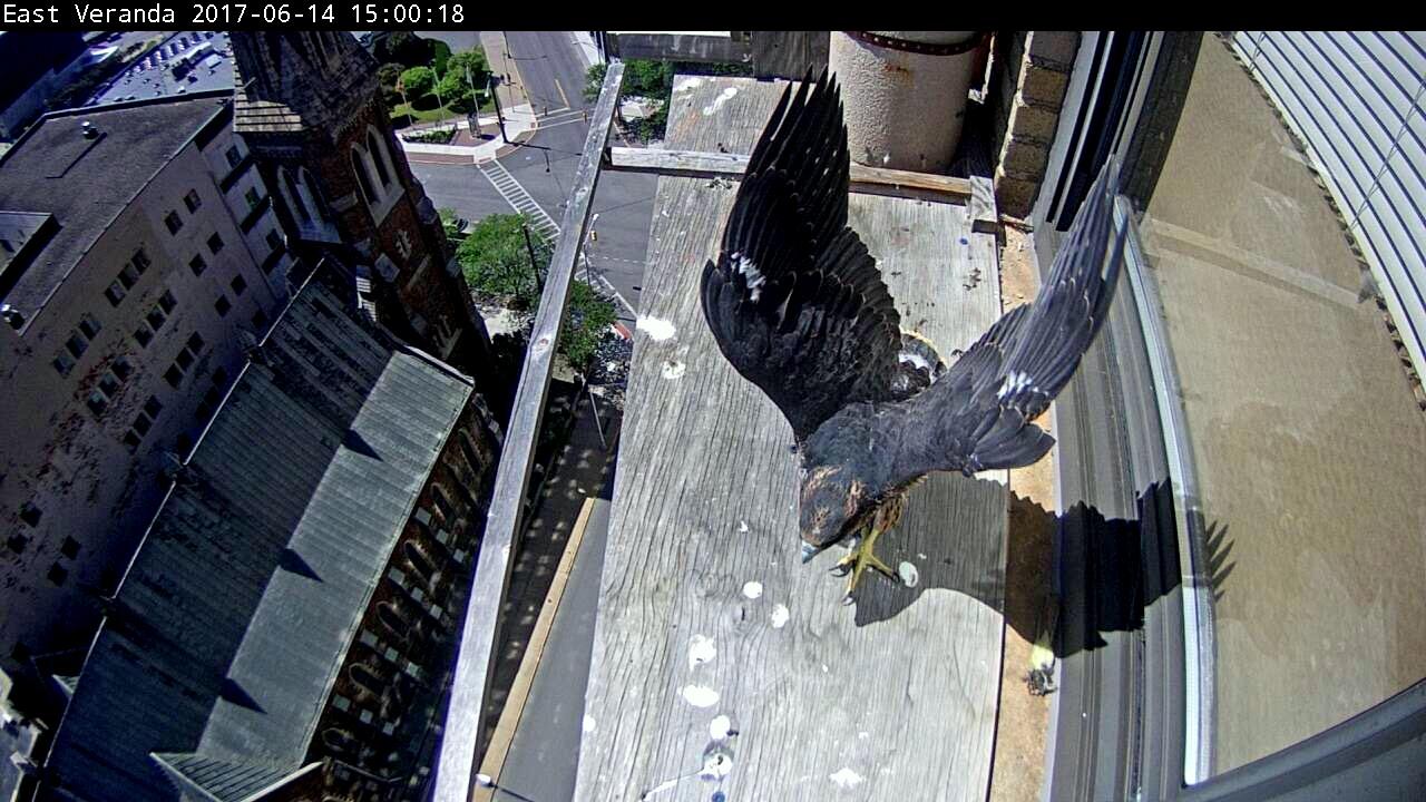 Wing exercising on the veranda