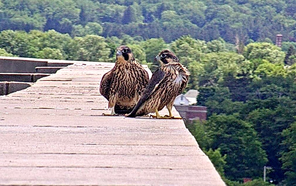 Two brothers converge post-fledging on the ADK Bank's roof
