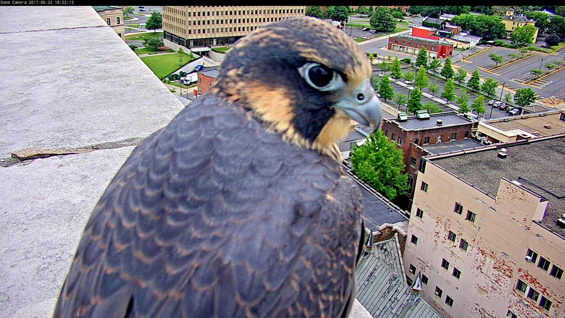 Spirit's first flight is to the roof of the ADK Bank and she perches right next to our PTZ cam
