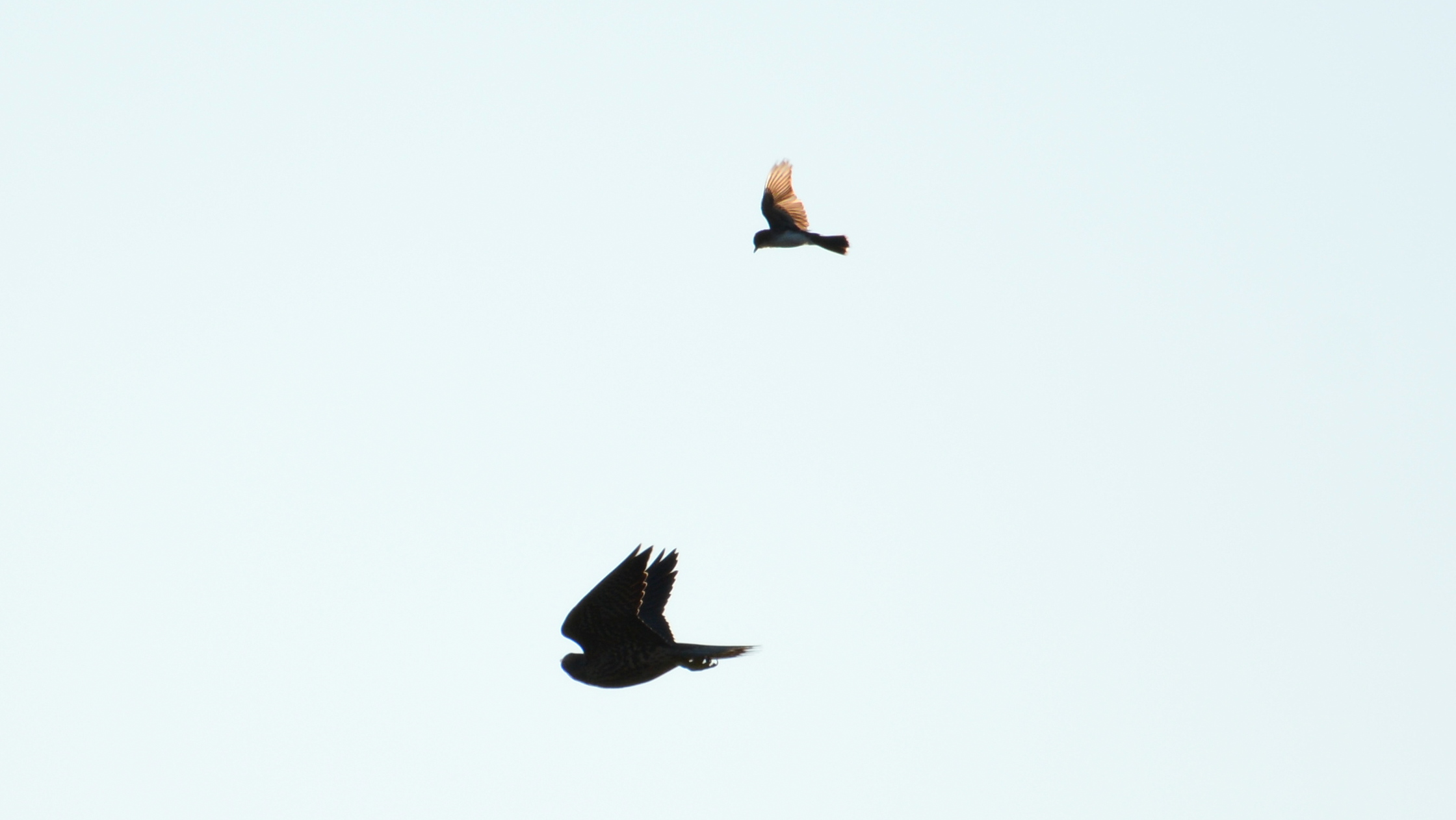 An Eastern Kingbird chases after one of the falcons