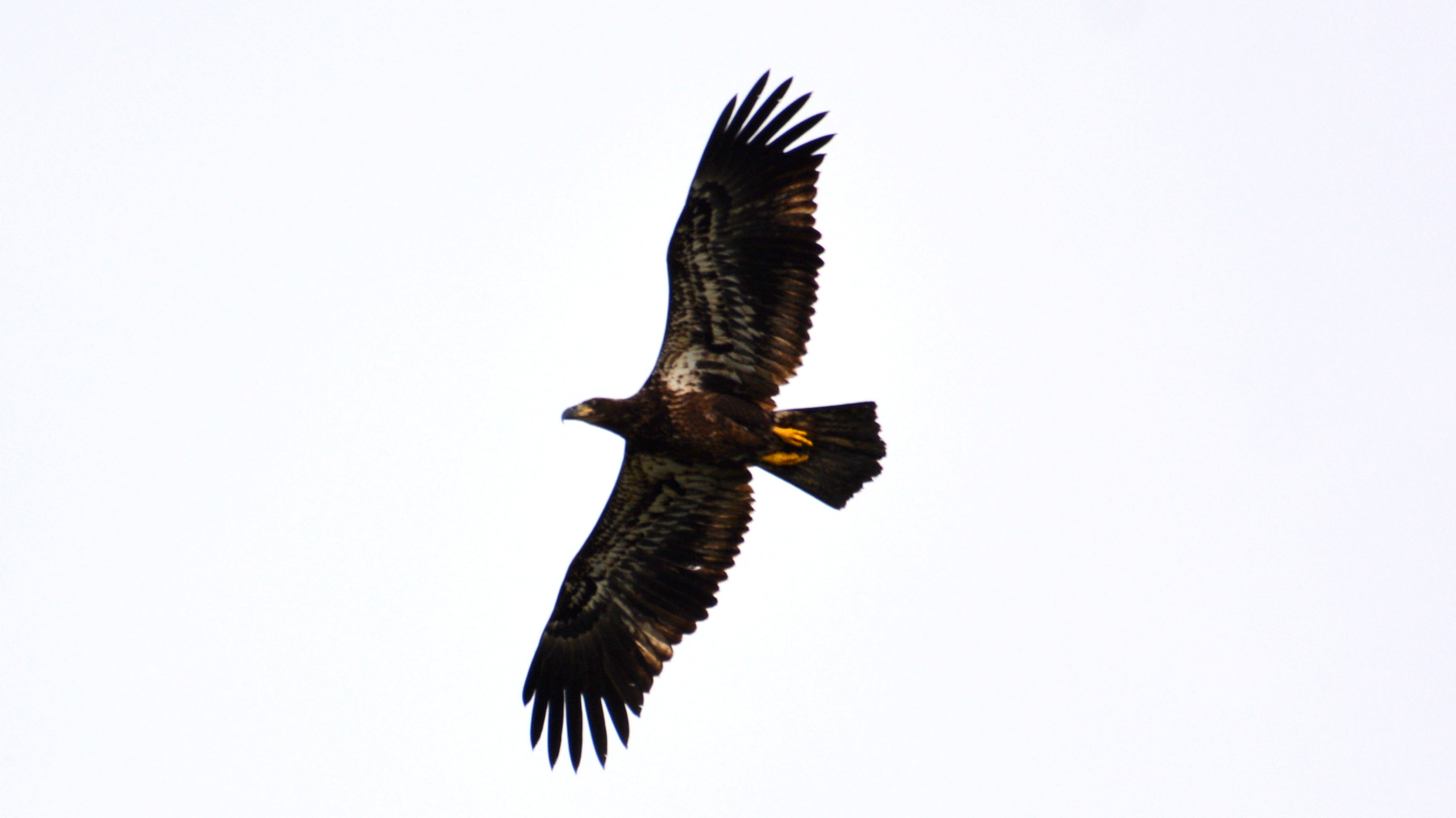 An immature Bald Eagle flies over
