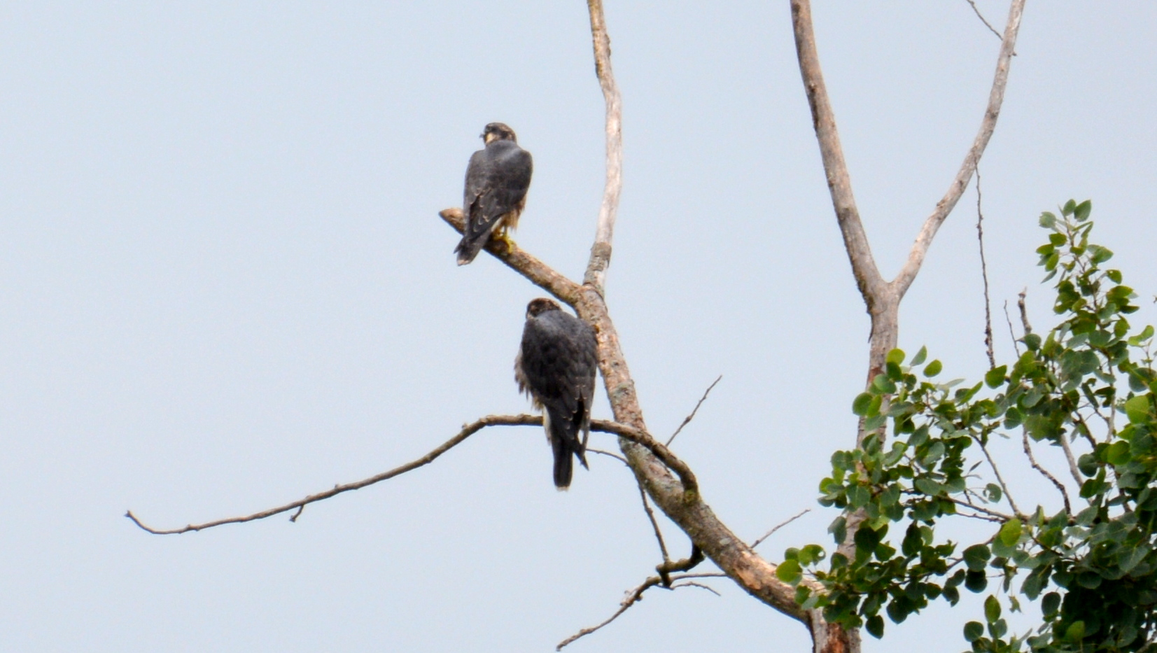 Spirit and her brother perch in a dead tree near Harbor Point