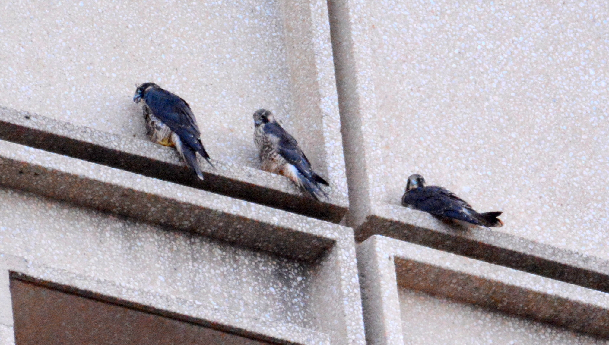 Arriving at their perches on the State Office building for the night