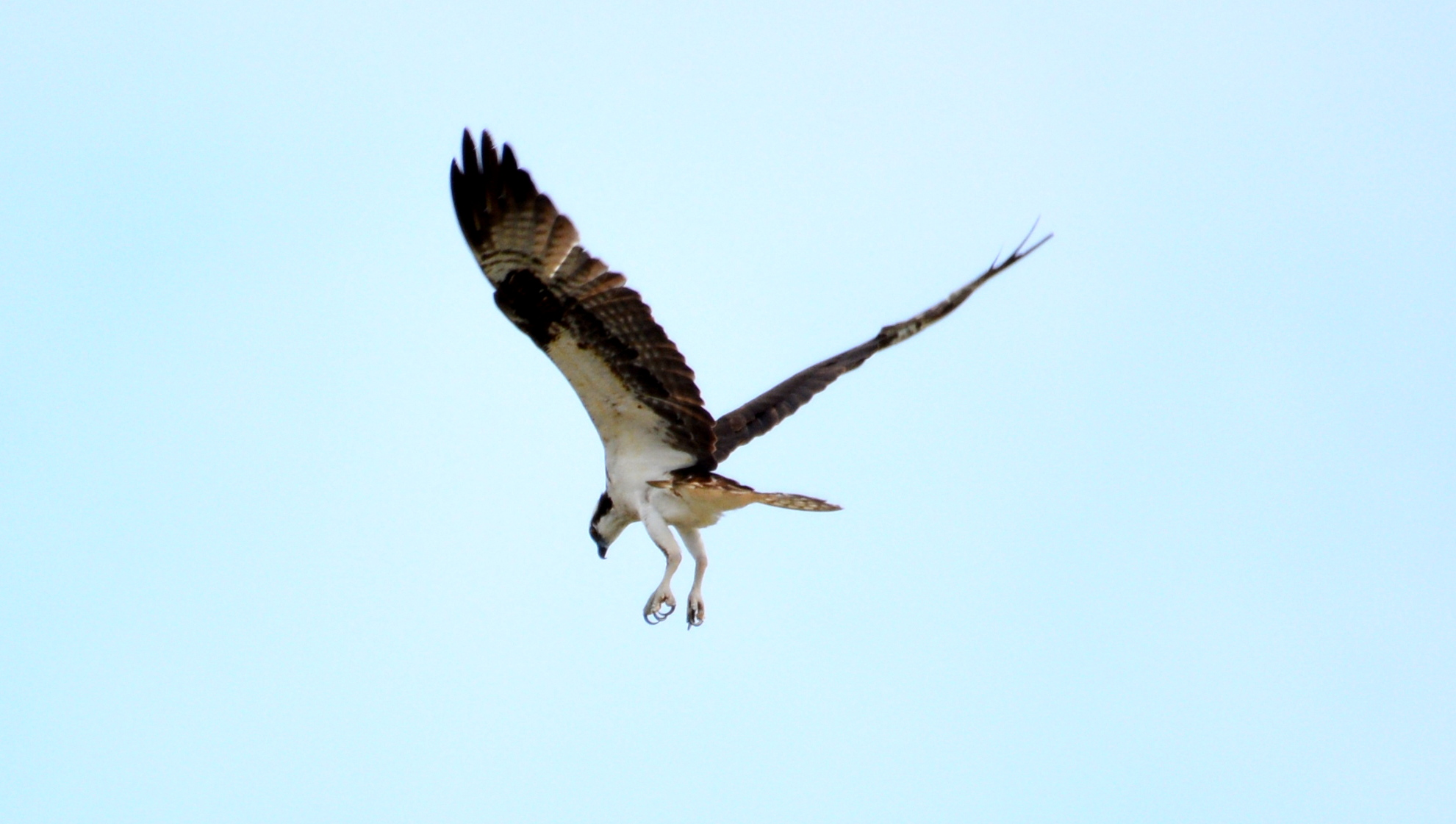An Osprey hovers over the water just before displacing one of the Peregrines from its perch