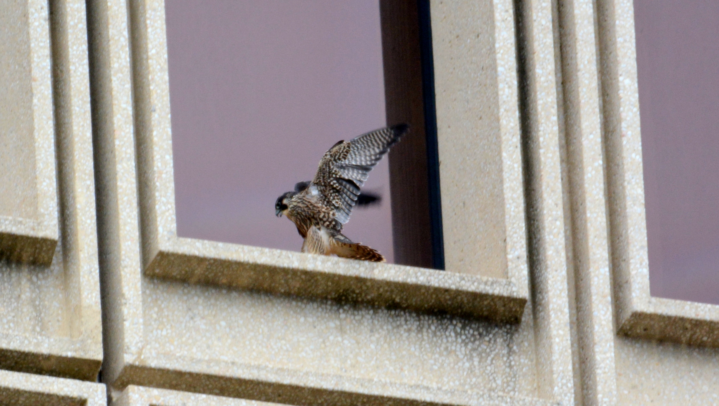 Coming in for a landing on a window ledge
