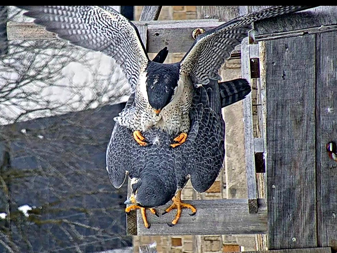Mating on the nest box perch