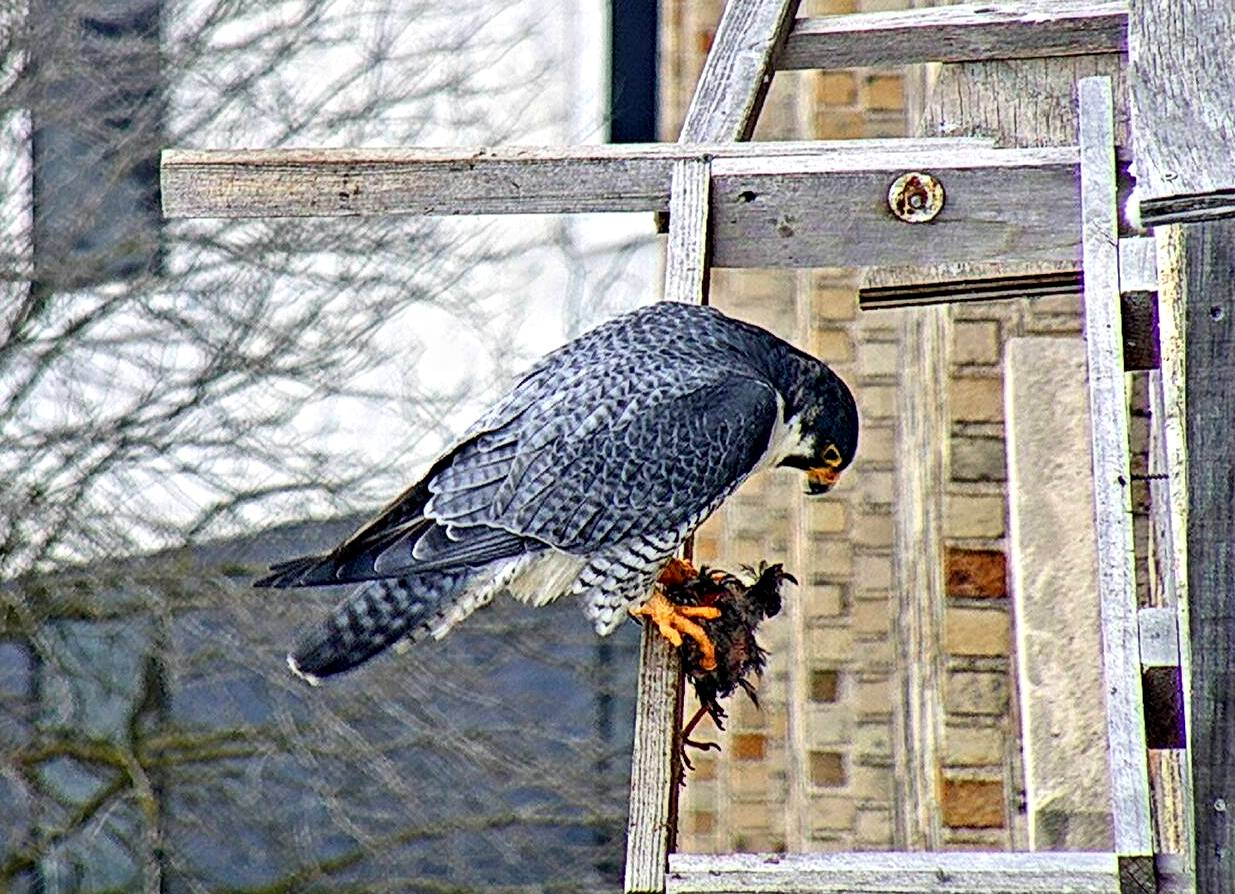 Ares with prey on the cross perch