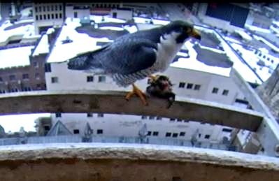 Ares at the nest box with prey