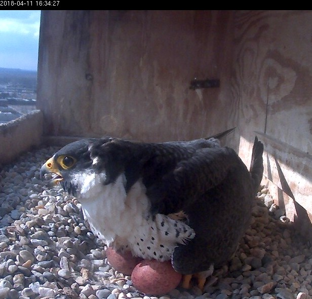 Ares incubating