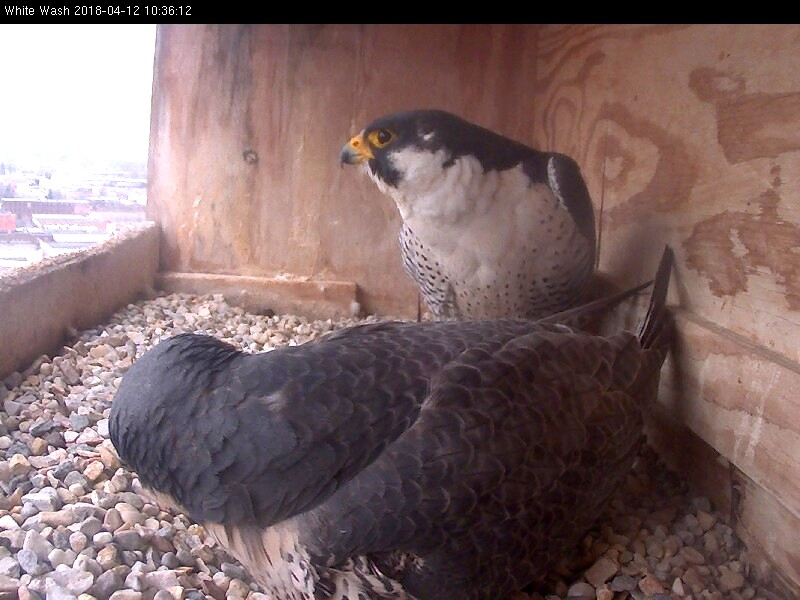 Ares come in to take over incubation