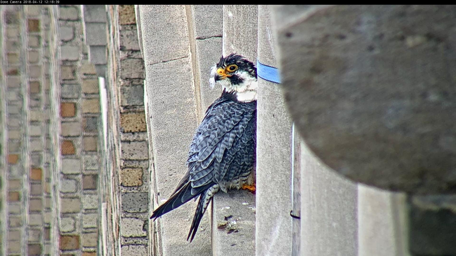 Ares got very wet and preened on one of the pillars west of the box